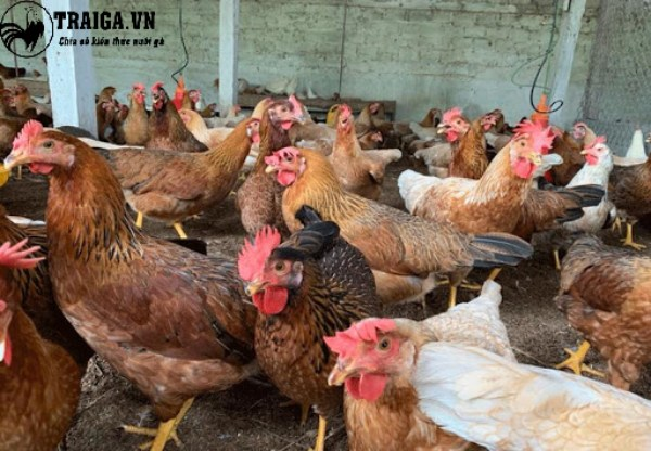 Kinh nghiệm nuôi gà đẻ trứng Ai Cập