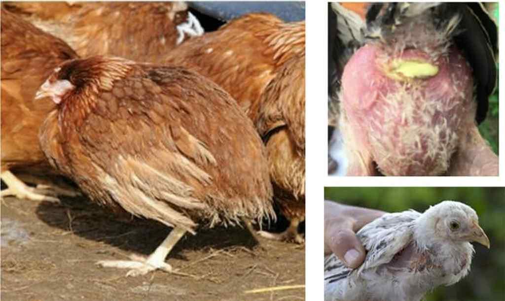 bệnh bạch lỵ ở gà