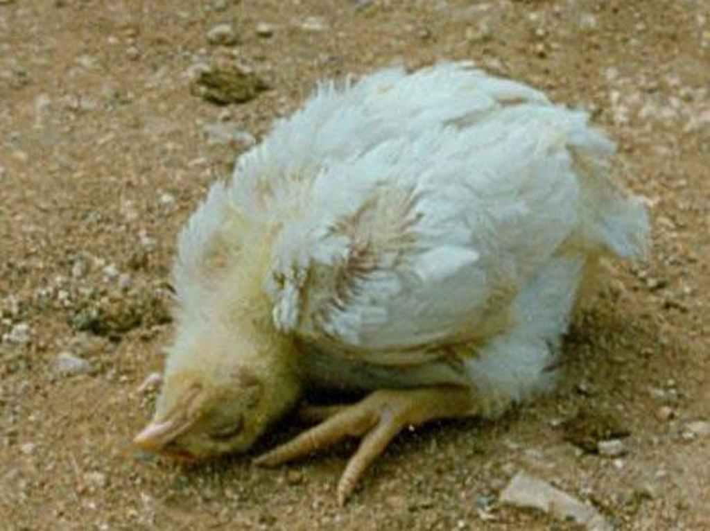 bệnh gà rù