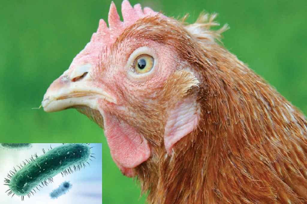bệnh hen gà