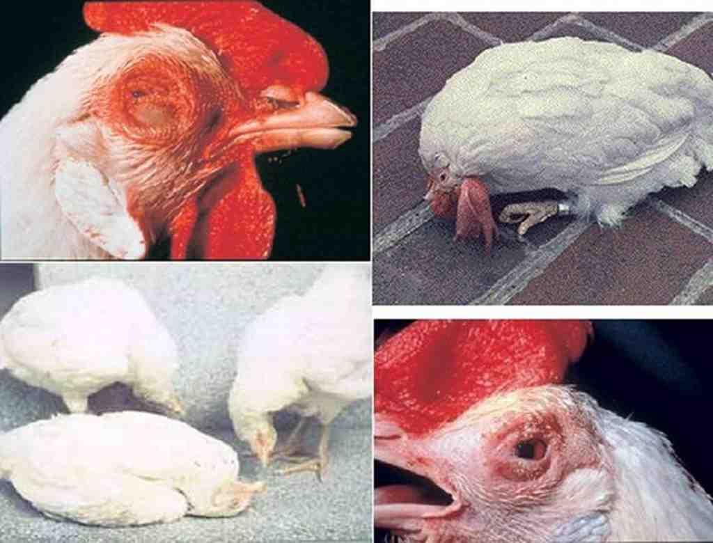 các bệnh thường gặp ở gà chọi