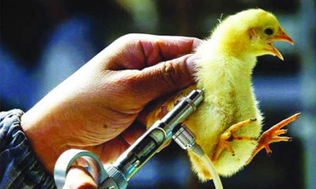 cách chăm sóc gà con mới nở