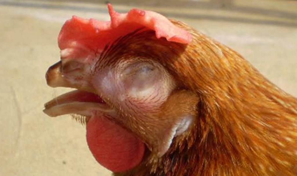 cách trị gà bị sổ mũi