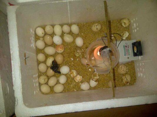 Cách ấp trứng gà bằng bóng điện