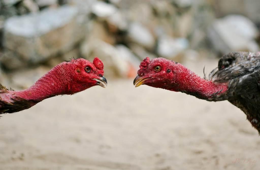 cách nuôi gà bị suy