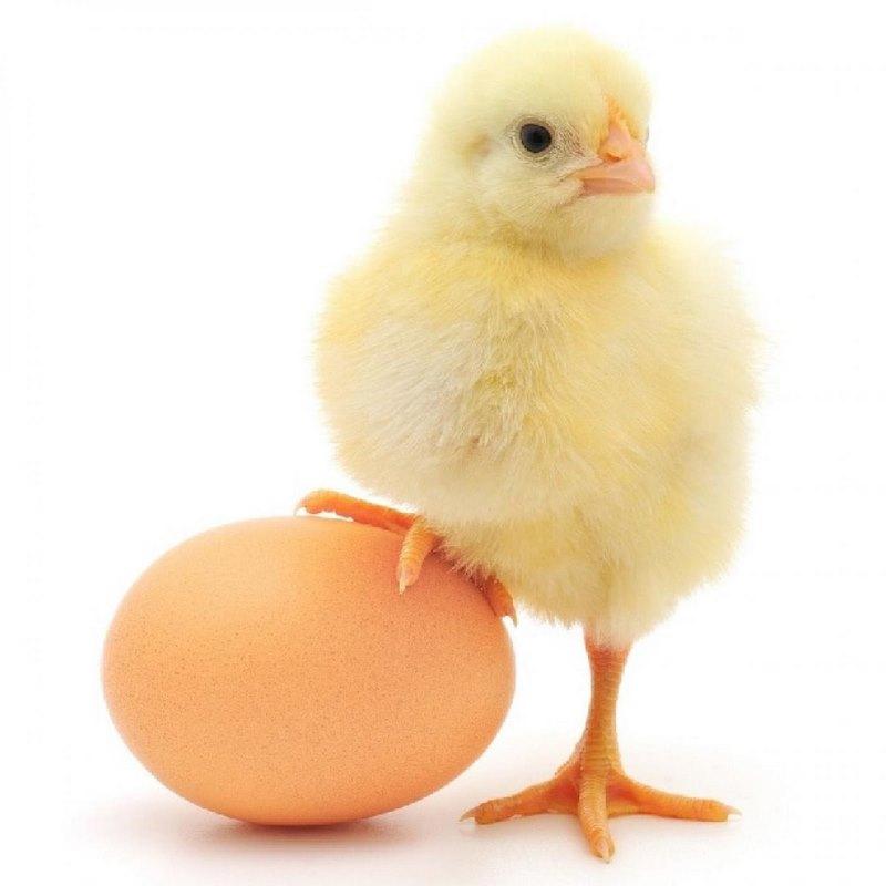 cách nuôi gà nhanh lớn