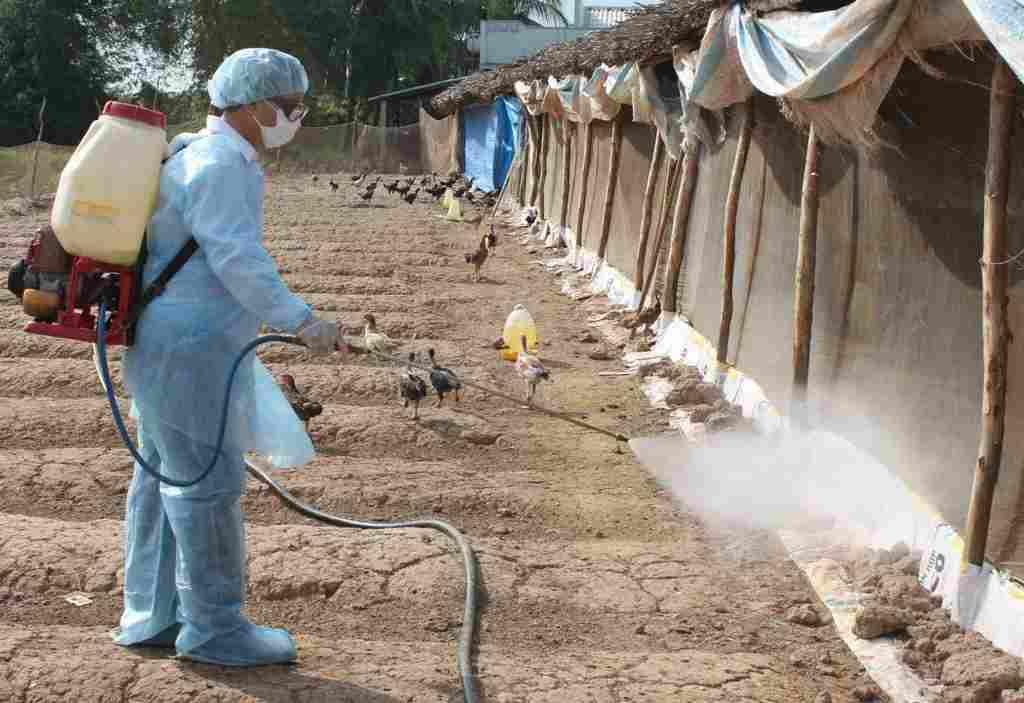 cách nuôi gà thả vườn