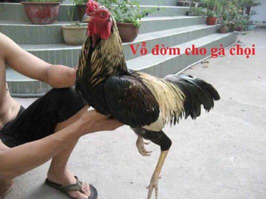 Cách vỗ đờm cho gà chọi