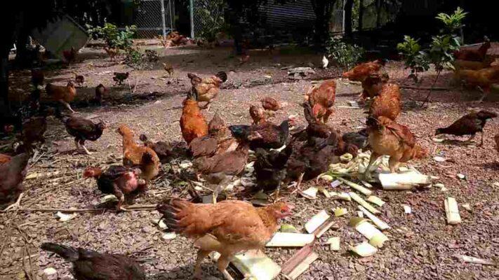 Có nên cho gà ăn cây chuối