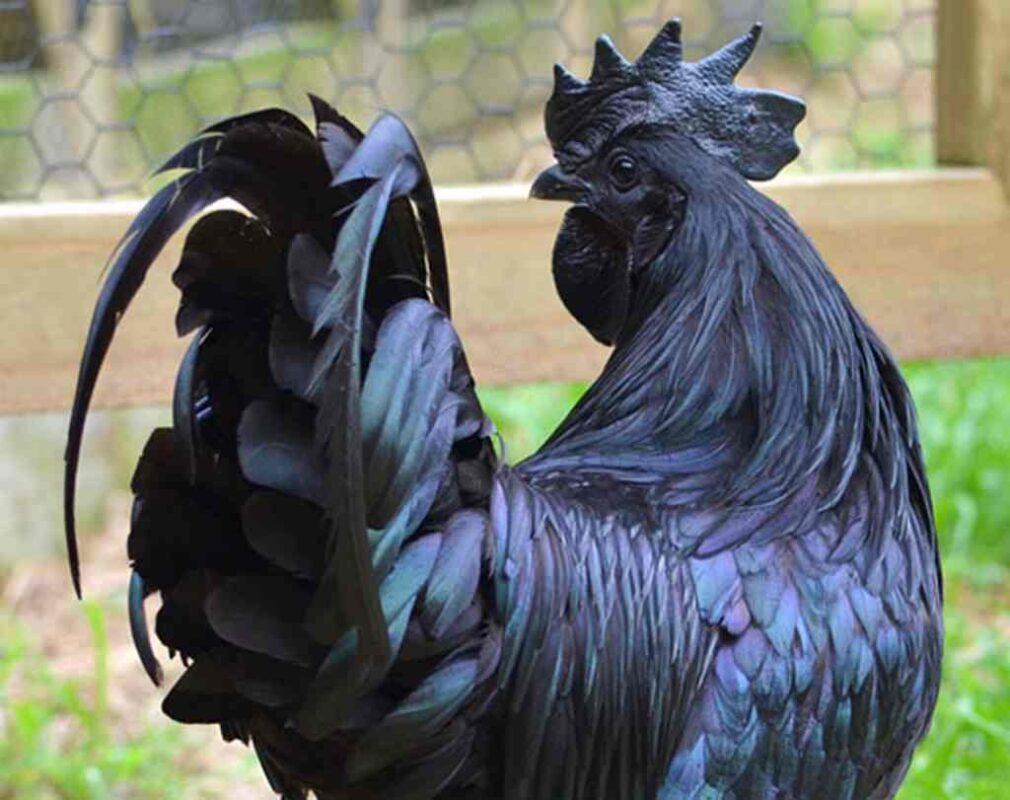 gà đẹp nhất thế giới