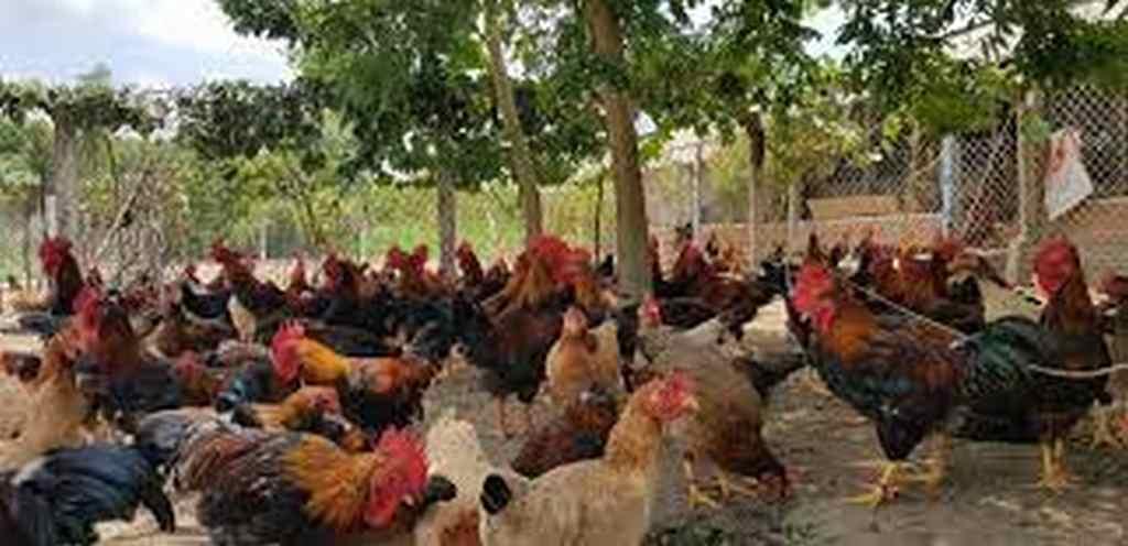 thức ăn cho gà