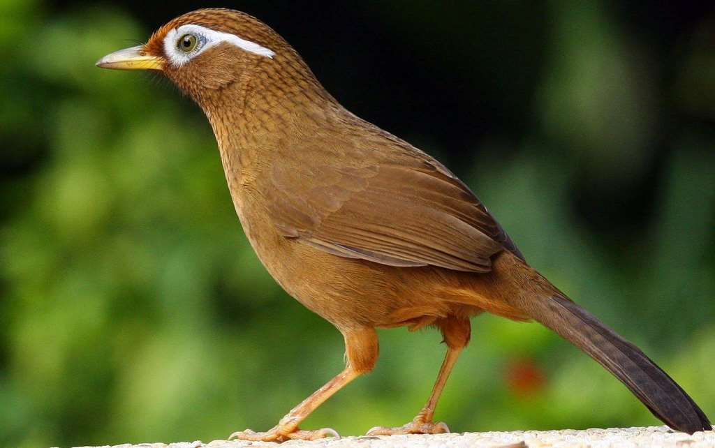 chim cảnh