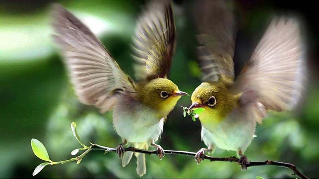 chim vành khuyên